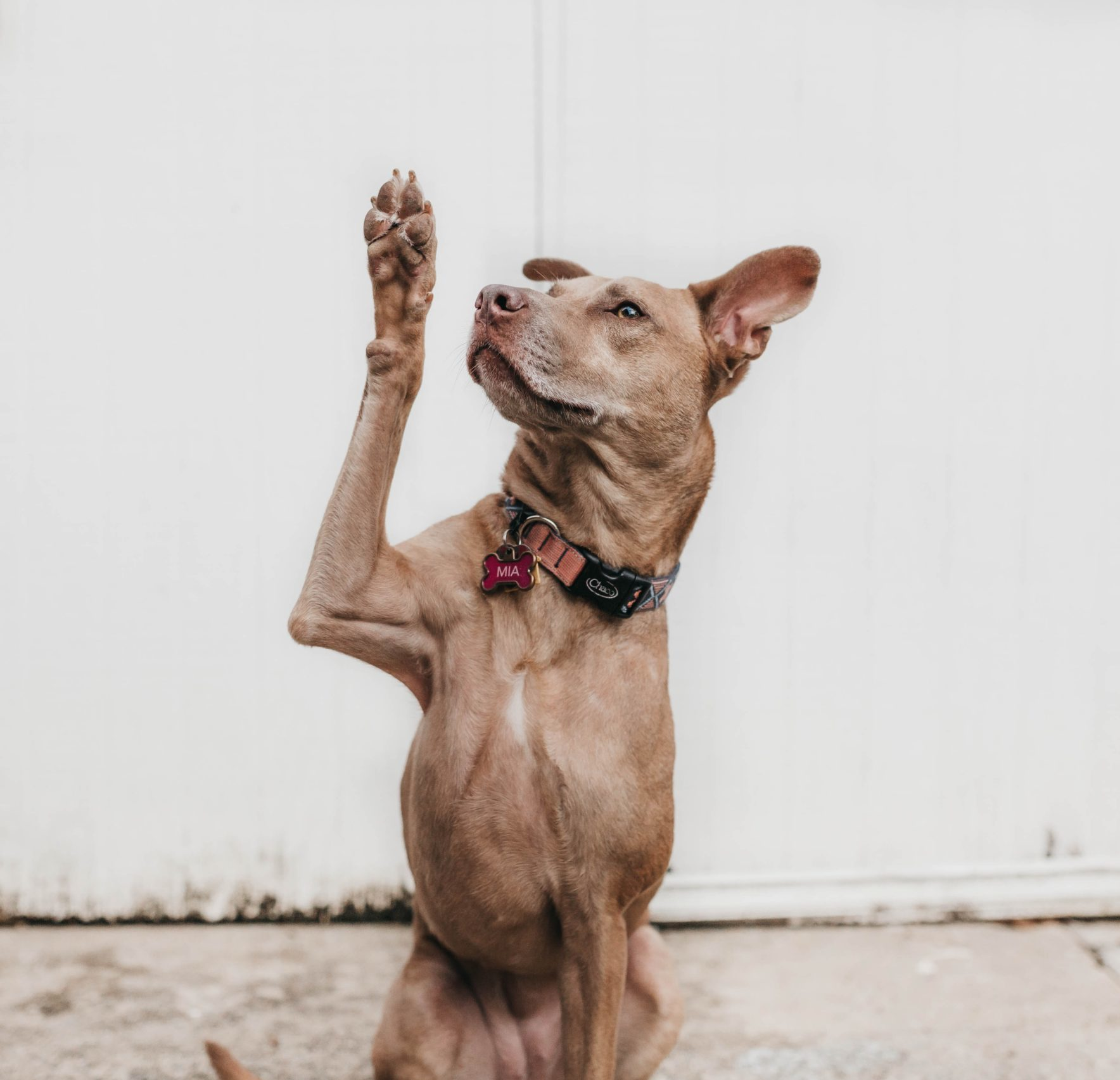 Dog raising right paw
